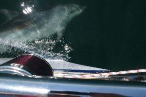 Onze dolfijn